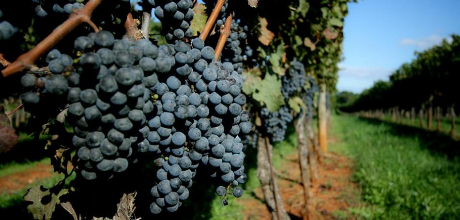 Metcalfe Vineyard